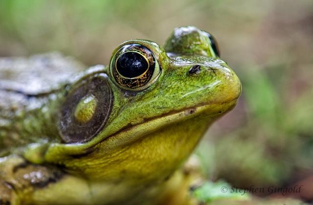 Bullfrog-Closeup-062913-900FB