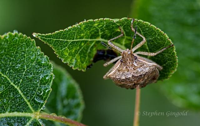 Podisus-Predatory-Stink-Bug-082413-900Web