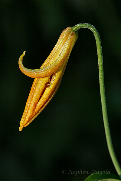 Canada-Lily-unfolding-070614-600Web