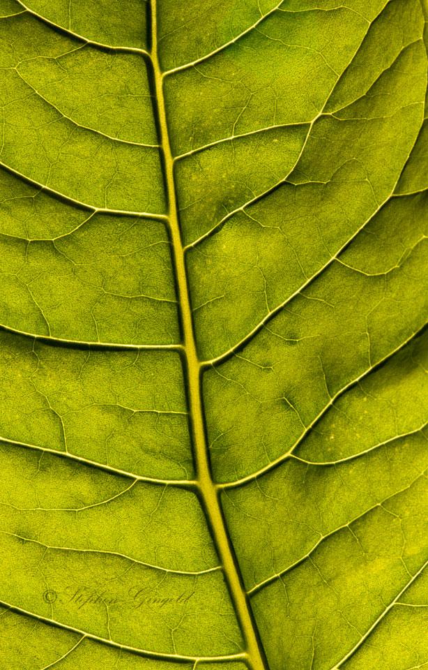 Pokeweed-Leaf-061316a-960